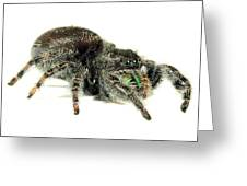 Jumping Spider Greeting Card