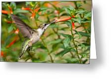 Juvenile Male Ruby-throated Hummingbird Greeting Card