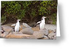 Juvenile Nz Yellow-eyed Penguins Or Hoiho On Shore Greeting Card
