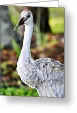 Juvenile Sandhill Crane Grus Canadensis Pratensis II Usa Greeting Card