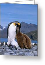 King Penguins Aptenodytes Patagonicus Greeting Card by Hans Reinhard