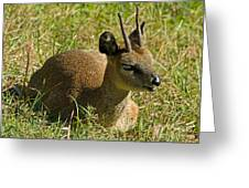 Klipspringer Antelope Greeting Card
