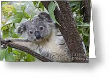 Koala Joey Australia Greeting Card