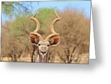 Kudu Bull Spiral Greeting Card