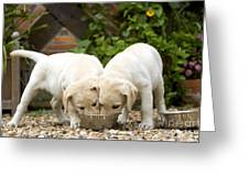 Labrador Puppies Eating Greeting Card