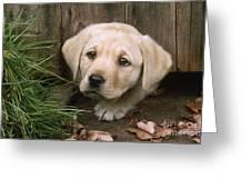 Labrador Puppy Greeting Card