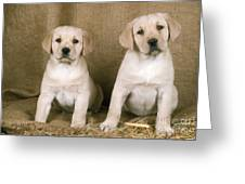 Labrador Retriever Puppies Greeting Card
