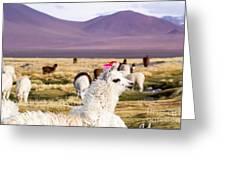 Lama On The Laguna Colorada In Bolivia Greeting Card