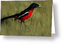 Laniarius Atrococcineus Greeting Card