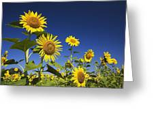 Laval, Quebec, Canada Sunflowers Greeting Card