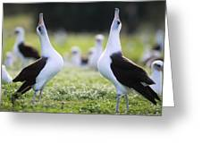 Laysan Albatross Courtship Dance Hawaii Greeting Card