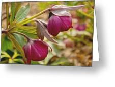 Lenten Roses  Greeting Card