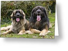 Leonberger Dogs Greeting Card