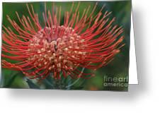 Leucospermum - Pincushion Protea - Tropical Sunburst Protea Flower Hawaii Greeting Card