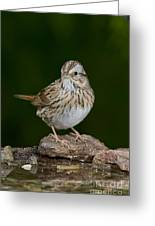 Lincoln Sparrow Greeting Card