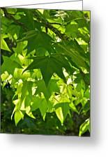 Liquidambar Tree In The Morning Sun Greeting Card