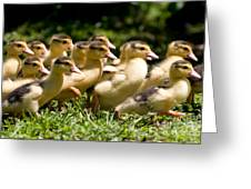 Yellow Muscovy Duck Ducklings Running In Hurry  Greeting Card