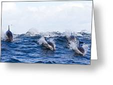 Long-beaked Common Dolphins Greeting Card