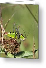 Long-horned Katydid Tettigonid Greeting Card