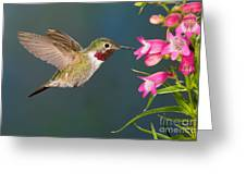 Male Broad-tailed Hummingbird Greeting Card