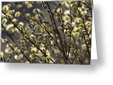 male catkins of willow species in the National Park Dwingelderveld Netherlands Greeting Card
