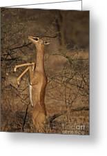Male Gerenuk Greeting Card