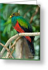 Male Golden-headed Quetzal Greeting Card