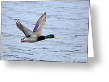 Mallard Duck In Flight Greeting Card