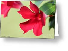 Mandevilla Named Sun Parasol Crimson Greeting Card