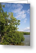 Mangrove Forest Greeting Card by Carol Ailles