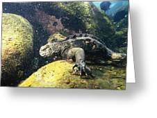 Marine Iguana Grazing On Seaweed Greeting Card