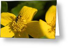 Marsh Marigold Greeting Card