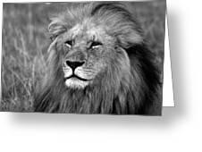 Masai Mara Lion  Greeting Card