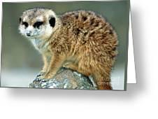 Meerkat Suricata Suricatta Greeting Card