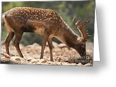 Mesopotamian Fallow Deer 2 Greeting Card