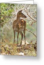Mesopotamian Fallow Deer 5 Greeting Card