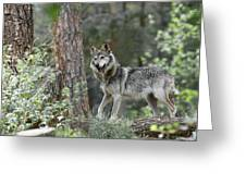 Mexican Grey Wolf 1 Greeting Card