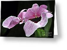 Miltoniopsis Alger Greeting Card