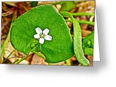 Miner's Lettuce In Park Sierra Near Coarsegold-california  Greeting Card