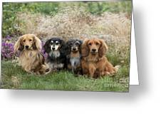 Miniature Long-haired Dachshunds Greeting Card