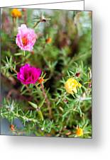Mixed Portulaca Greeting Card