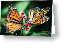 Monarch Danaus Plexippus Greeting Card