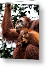 Mother And Baby Orangutan Borneo Greeting Card