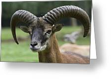 Mouflon Hochwildpark Rhineland Kommern Mechernich Germany Greeting Card