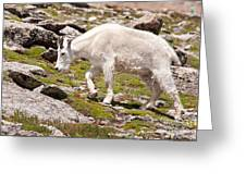 Mountain Goat On Mount Evans Greeting Card