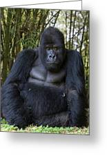 Mountain Gorilla Silverback Greeting Card