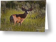 Mule Deer Buck In Velvet   #2164 Greeting Card