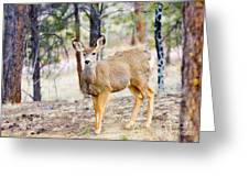 Mule Deer Does Greeting Card