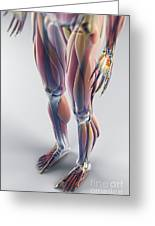 Muscles Of The Lower Body Greeting Card