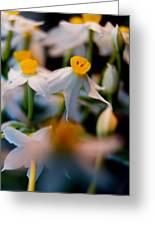 Narcissus Tazetta Greeting Card
